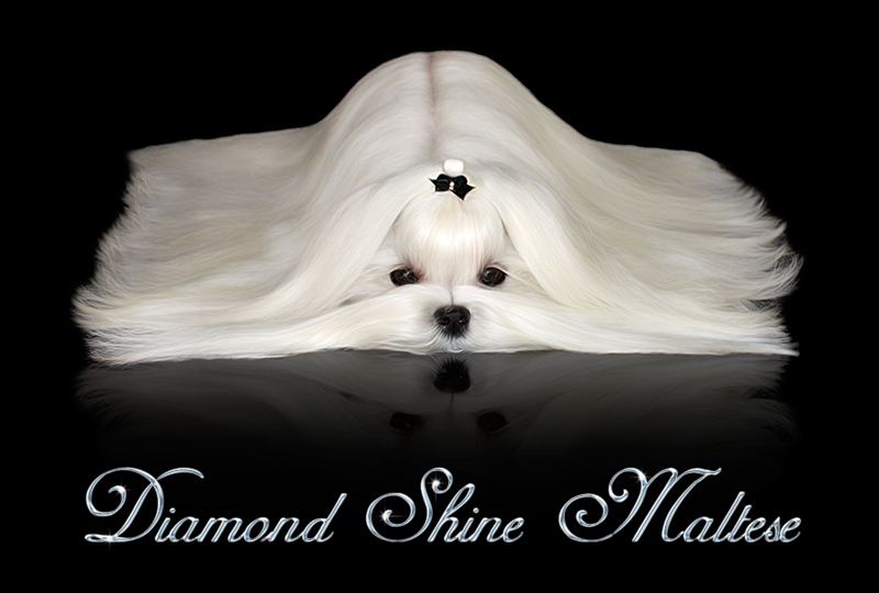 Diamond Shine Maltese